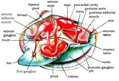 Mollusca circulatory system description the mollusca originates from latin and means soft of body mollusca have an open circulatory system and contain blood and a heart ccuart Image collections